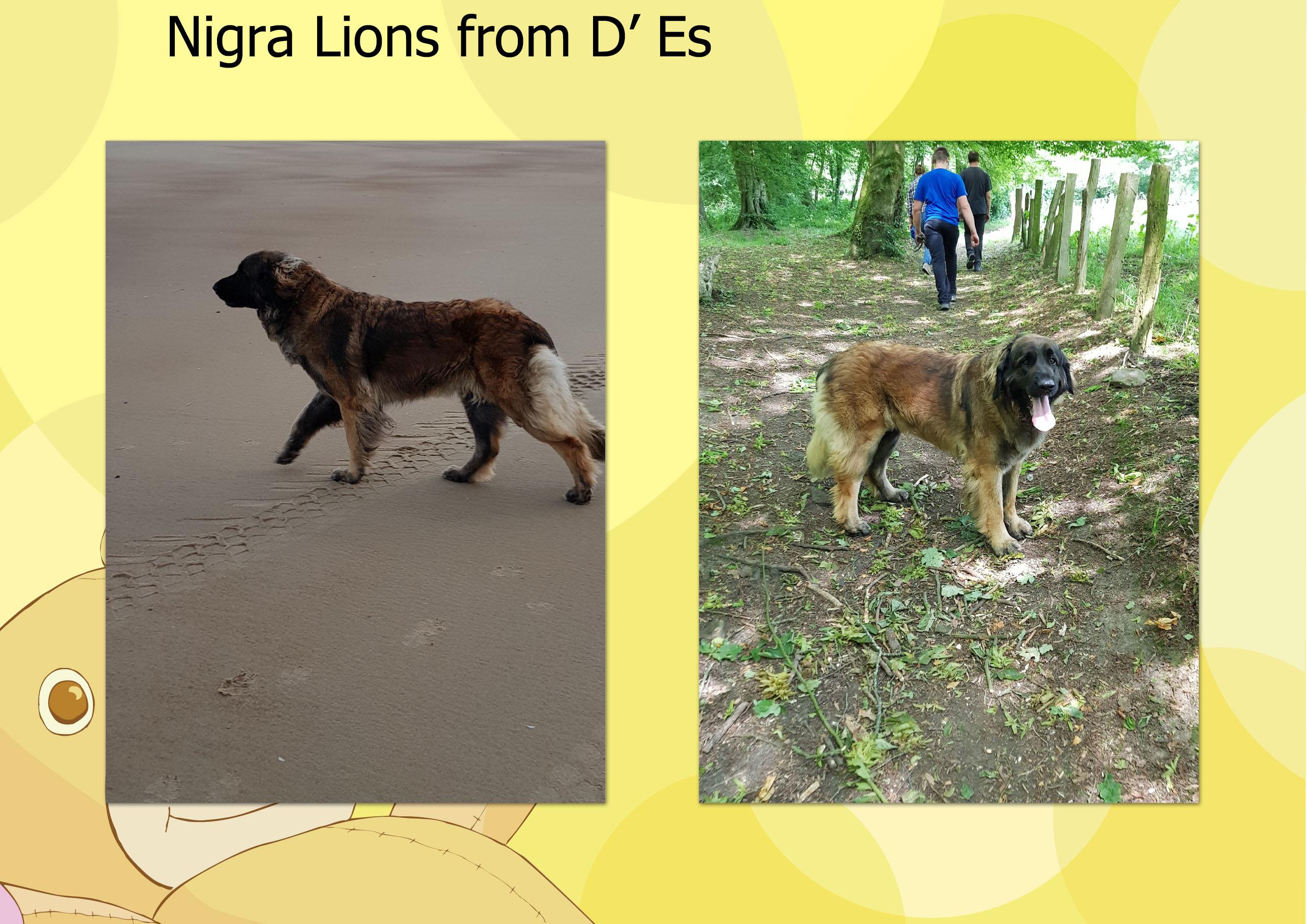 Nigra Lions from D' Es toekomstige mama
